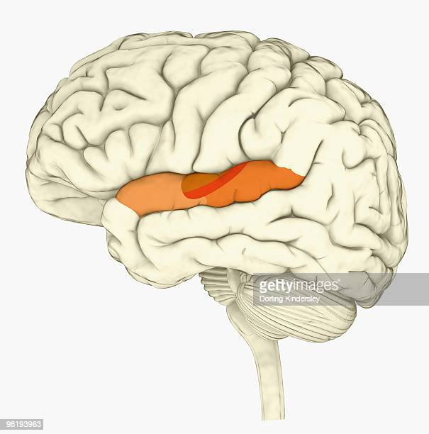 digital illustration of human brain with primary auditory cortex highlighted in orange and red - temporal lobe stock illustrations, clip art, cartoons, & icons