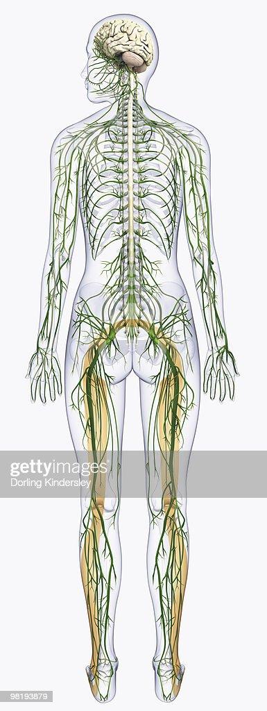 Digital Illustration Of Human Nervous System Connected To ...