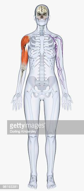 ilustraciones, imágenes clip art, dibujos animados e iconos de stock de digital illustration of human skeleton showing upper arm muscles - modelos del cuerpo humano