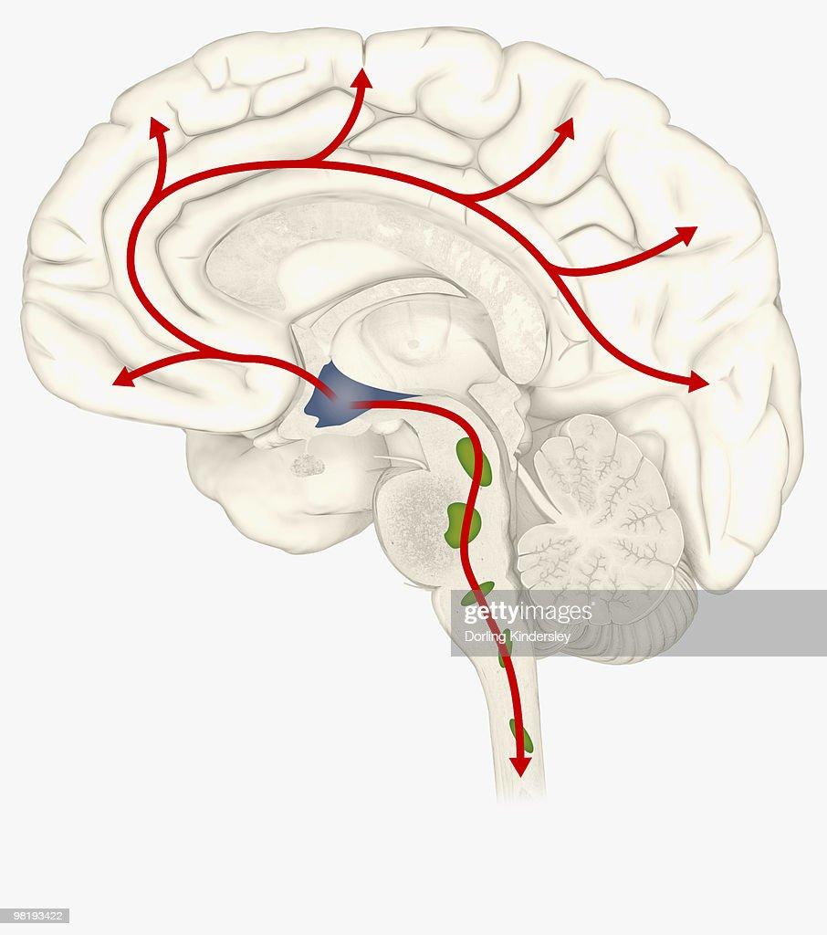 Digital Illustration Of Hypocretin System In Human Brain With ...