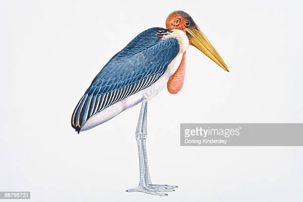 illustrations, cliparts, dessins animés et icônes de digital illustration of marabou stork (leptoptilos crumeniferus), large wading bird showing pink gular sack  - marabout