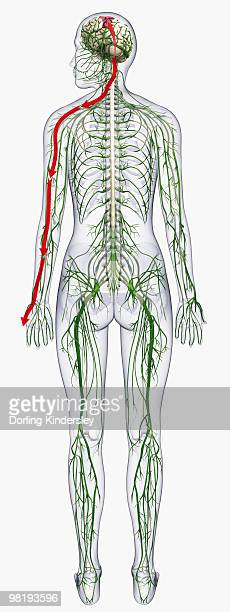 digital illustration of of human nervous system - anatomical model stock illustrations, clip art, cartoons, & icons