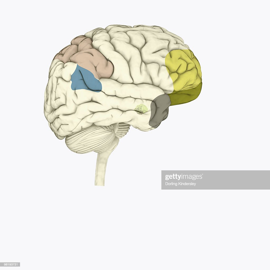 Digital Illustration Of Parietal Lobe In Human Brain Stock