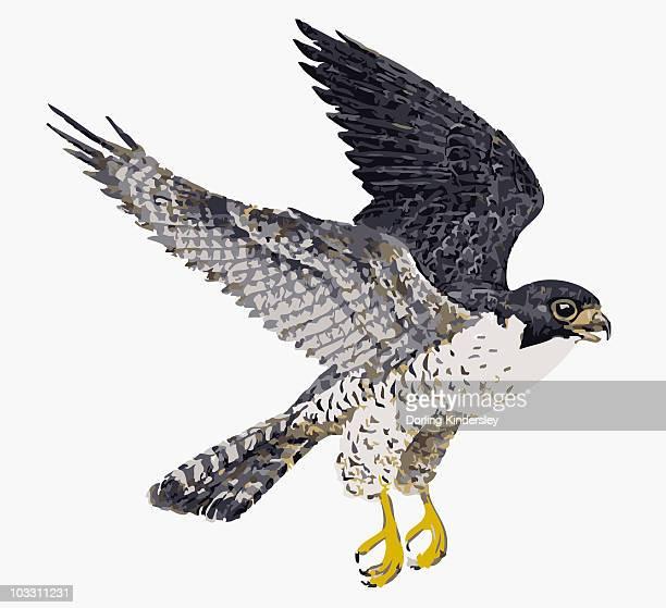digital illustration of peregrine falcon (falco peregrinus) in flight - peregrine falcon stock illustrations, clip art, cartoons, & icons