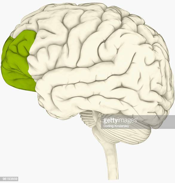 Prefrontal Cortex Stock Illustrations And Cartoons | Getty Images