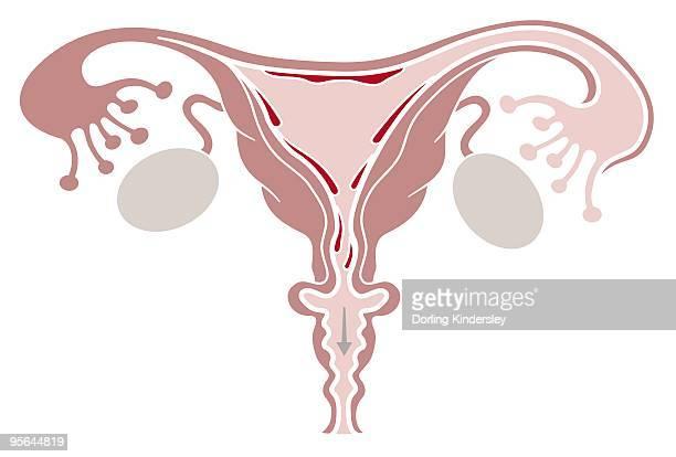 ilustraciones, imágenes clip art, dibujos animados e iconos de stock de digital illustration of shedding uterine lining during menstruation - trompas de falopio