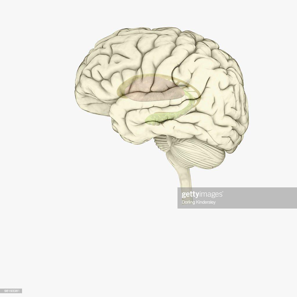 Digital illustration of striatum and hippocampus highlighted in human brain : stock illustration