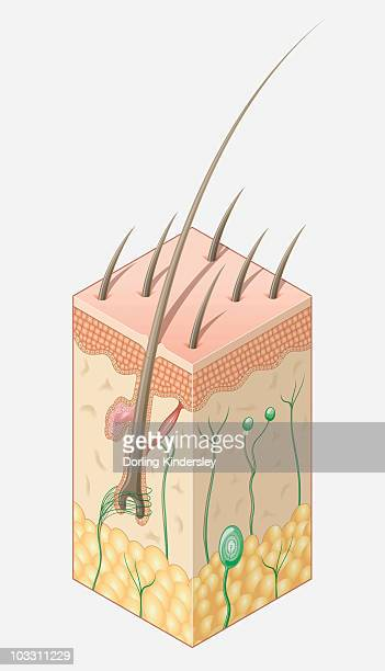 digital illustration of structure of human skin - dermis stock illustrations