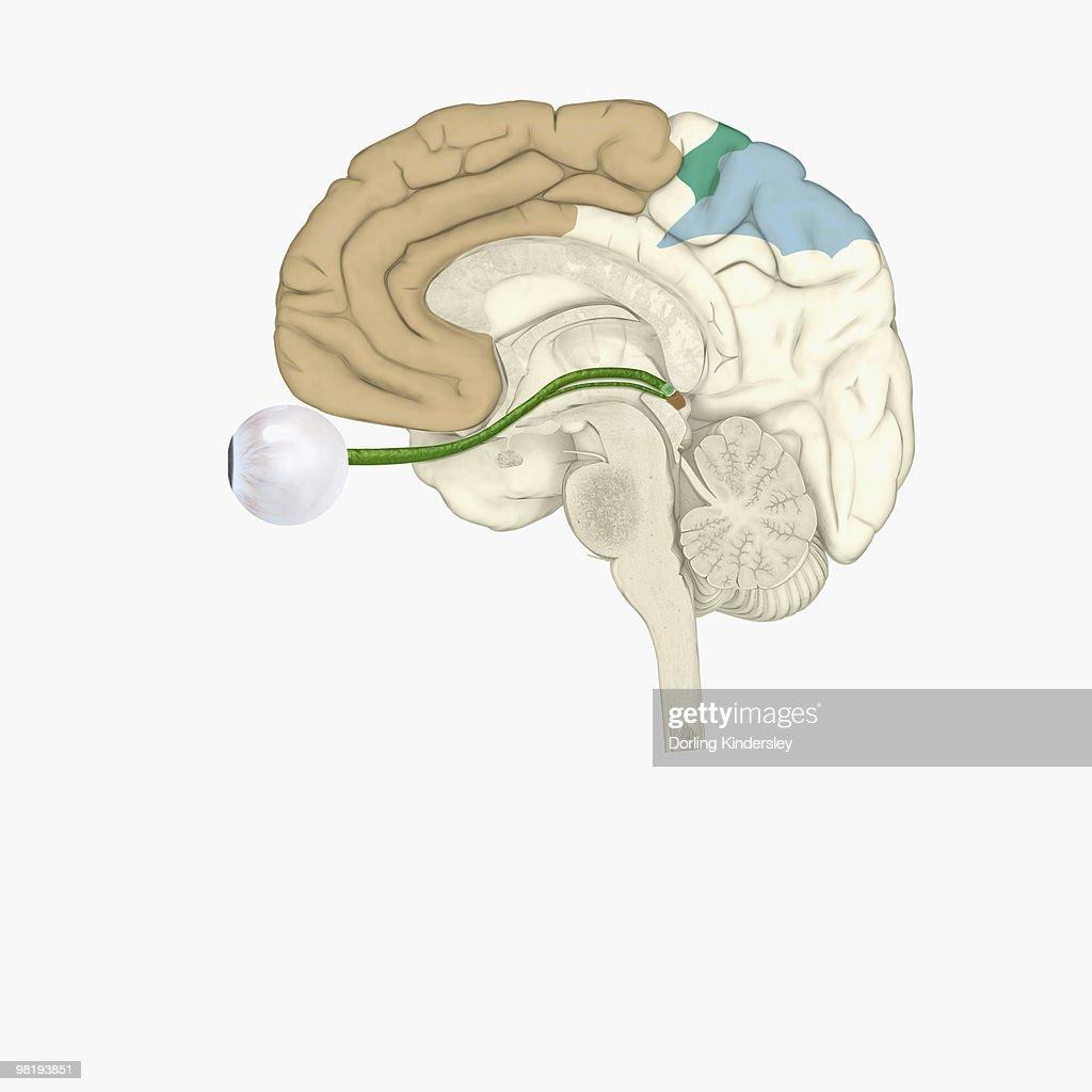 Digital illustration of various areas of cortex in human brain receiving input from sense organs : stock illustration