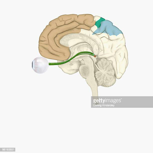 Digital illustration of various areas of cortex in human brain receiving input from sense organs