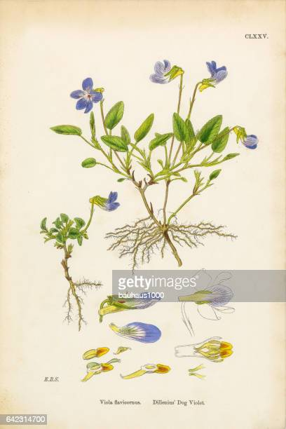 Dillenius hond Violet, Viola Flavicornus, Victoriaanse botanische illustratie, 1863