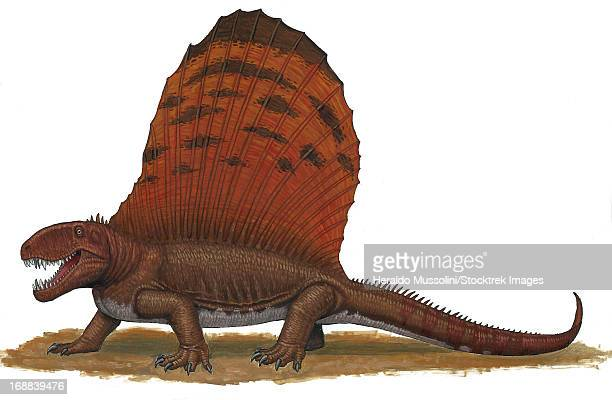 Dimetrodon, an apex predator during the Early Permian period of time.