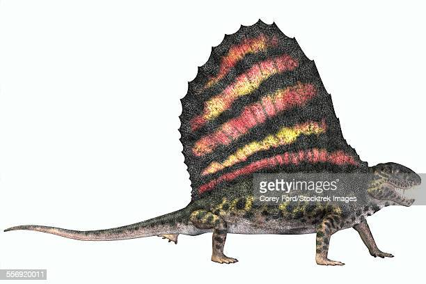 Dimetrodon was a carnivorous mammal-like reptile which lived during the Permian period of North America and Europe.