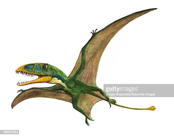 ilustraciones, imágenes clip art, dibujos animados e iconos de stock de dimorphodon macronyx, a prehistoric era pterosaur from the early jurassic period. - paleobiología