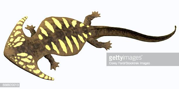 Diplocaulus is an extinct amphibian from the Cambrian to the Permian Period that lived in North America.