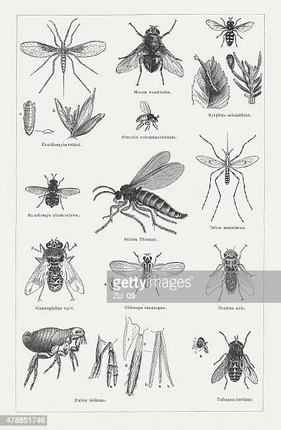Dipterous insects (Diptera), wood engravings, published in 1878