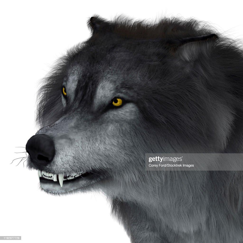 Dire wolf head, close-up. : stock illustration