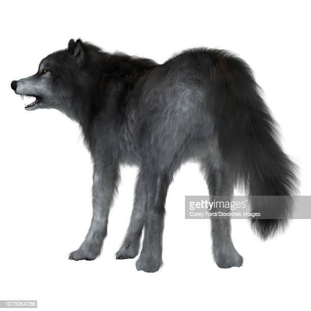 ilustraciones, imágenes clip art, dibujos animados e iconos de stock de dire wolf on white background, rear view. - animal extinto