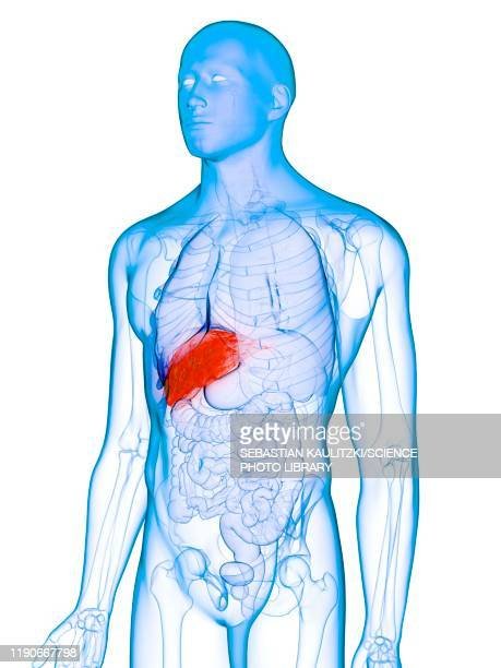 diseased liver, conceptual illustration - human liver stock illustrations