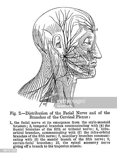 distribution of the facial nerve - medical diagram stock illustrations, clip art, cartoons, & icons