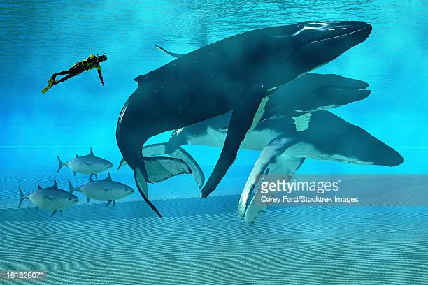 ilustraciones, imágenes clip art, dibujos animados e iconos de stock de a diver swims with a pod of humpback whales as three tuna cruise by. - diving flipper