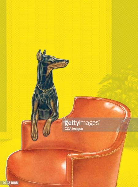 illustrazioni stock, clip art, cartoni animati e icone di tendenza di doberman dog on leather armchair - doberman