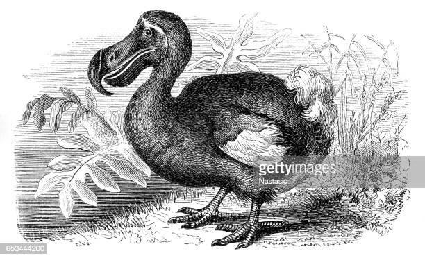 ilustraciones, imágenes clip art, dibujos animados e iconos de stock de pájaro dodo - animal extinto