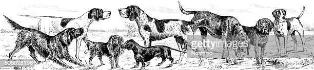 dog breeds - german short haired pointer stock illustrations