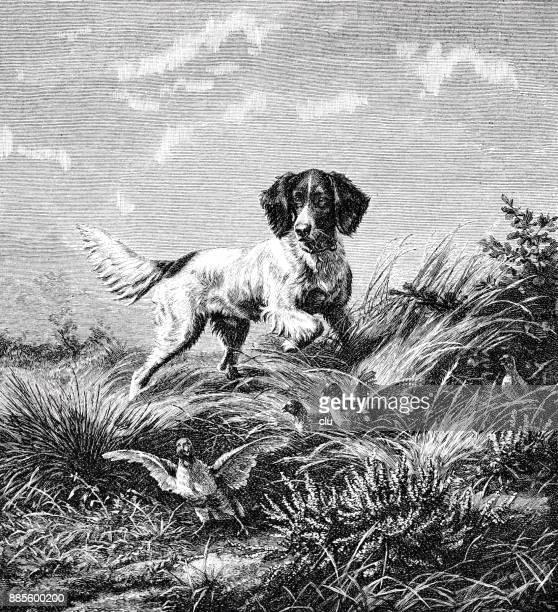 illustrations, cliparts, dessins animés et icônes de un chien de chasse perdrix - chasseur