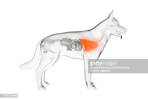illustrazioni stock, clip art, cartoni animati e icone di tendenza di dog lung, illustration - vertebrato