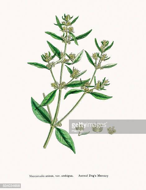 Dog Mercury plant is ancient medicinal plant