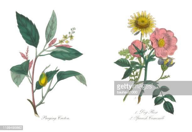 ilustraciones, imágenes clip art, dibujos animados e iconos de stock de rosa de perro y camomile español ilustración botánica victoriana - botánica