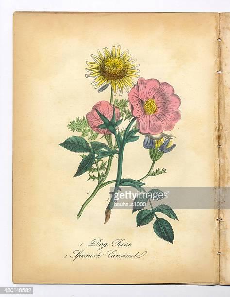 ilustraciones, imágenes clip art, dibujos animados e iconos de stock de rosa canina y español camomile victoriano ilustración botánicos - manzanilla