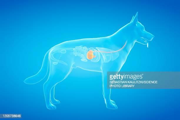 dog stomach, illustration - digestive stock illustrations