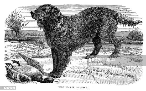dogs - water spaniel - spaniel stock illustrations