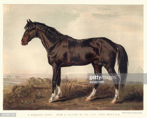 Dongola horse, 19th Century