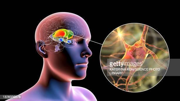 dorsal striatum and neurons, illustration - neuropathy stock illustrations