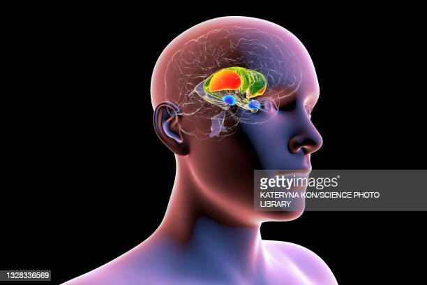 dorsal striatum, illustration - neuropathy stock illustrations