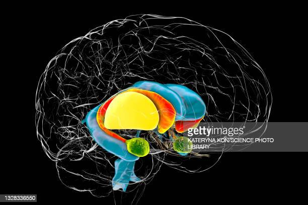 dorsal striatum in huntington's disease, illustration - neuropathy stock illustrations