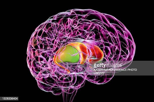 dorsal striatum in the brain, illustration - neuropathy stock illustrations