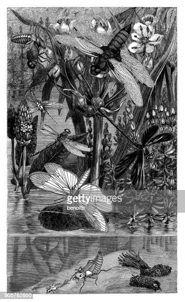 dragonflies and mayflies by the pond - odonata stock illustrations, clip art, cartoons, & icons