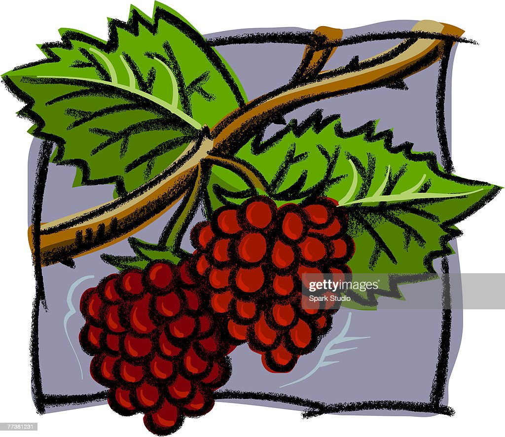 A drawing of fresh raspberries : Illustration