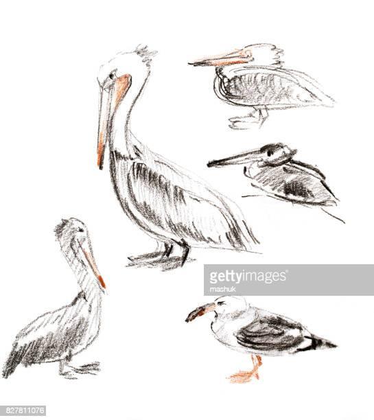 60 Top Pelican Stock Illustrations, Clip art, Cartoons
