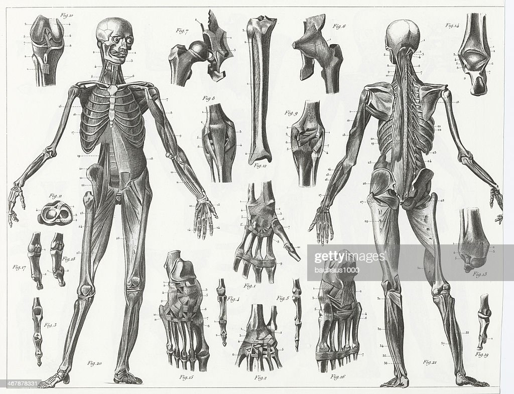 Drawings Of The Anatomy Of Human Muscles And Ligments Stock