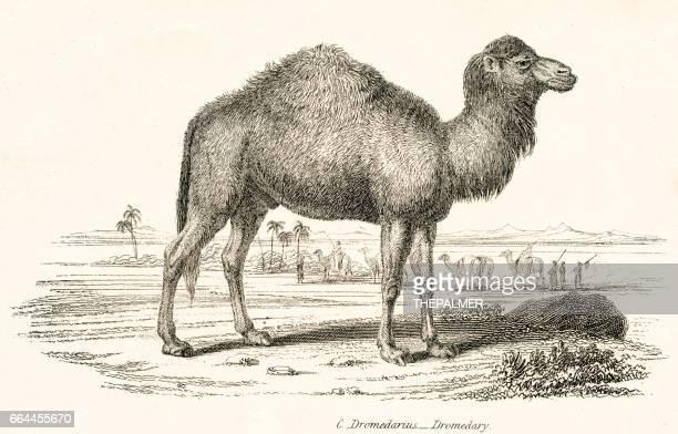 Grabado de 1803 dromedario