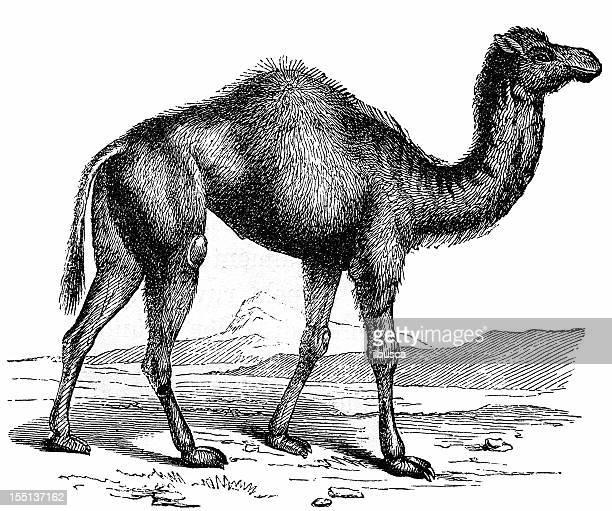 Camello dromedario o árabe (Camelus Dromedarius