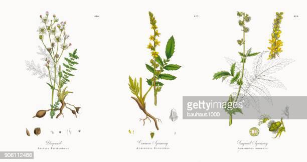 セリ、シモツケ Filipendula ビクトリア朝の植物図 1863