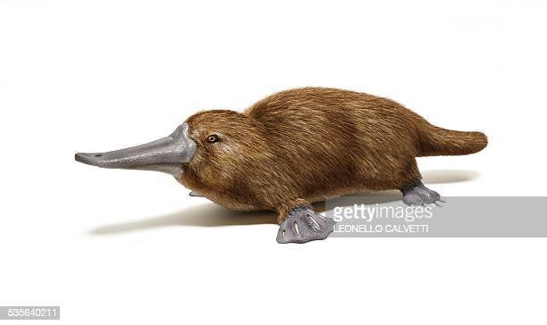 duck billed platypus, artwork - duck billed platypus stock illustrations
