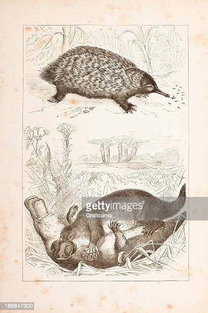 duck-billed platypus and short-beaked echidna - echidna stock illustrations