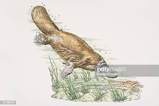 duck-billed platypus (ornithorhynchus anatinus) diving and chasing frog (anura) underwater, side view. - duck billed platypus stock illustrations
